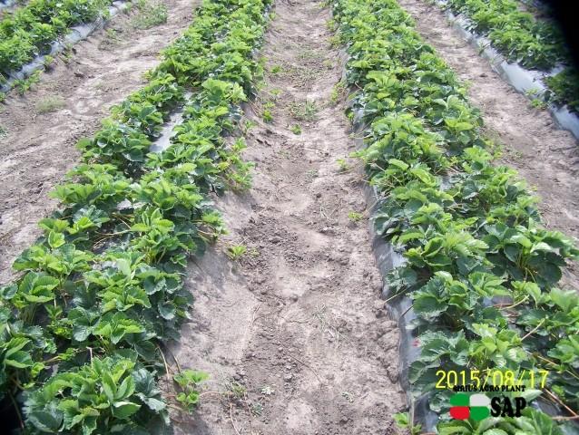 Развитие земляники в 1-й год вегетации