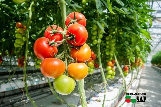 Производство томатов в теплице
